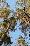 Kronor av Scots eller skotsk whisky sörjer Pinussylvestristräd som växer i vintergrönt barrträds- trä Sikt för skogmarkis underif Royaltyfria Foton
