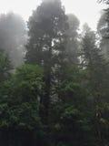 Kronor av träd i redwoodträdnationalparken, Kalifornien USA Arkivbild