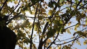 Kronor av träd med den ljusa eftermiddagsolen och den blackmagic ursakortkortet 4,6k för strålar stock video