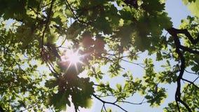 Kronor av träd med den ljusa eftermiddagsolen och strålar lager videofilmer