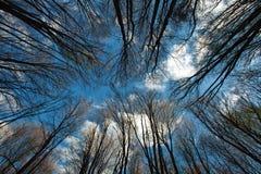 Kronor och filialer av högväxta träd på bakgrund för blå himmel Arkivbilder