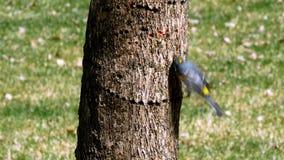 Kronwaldsänger, Dendroica coronata, auf Barke des Baumstammes stock footage