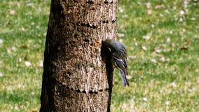 Kronwaldsänger, Dendroica coronata, auf Barke des Baumstammes stock video footage