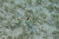 Kroon Butterflyfish in Rode Overzees royalty-vrije stock foto's
