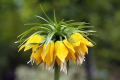 Kroon keizer, imperialis Fritillaria Stock Foto's