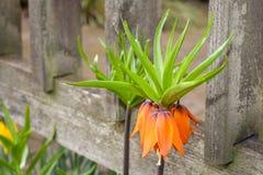Kroon keizerbloem die in de lente bloeien Royalty-vrije Stock Afbeelding