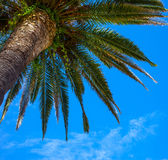 Kroon palms Royalty Free Stock Images