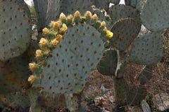 Kroon van bloeiende cactusbloemen royalty-vrije stock afbeelding