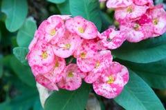 Kroon van de bloem van Doornen stock afbeelding