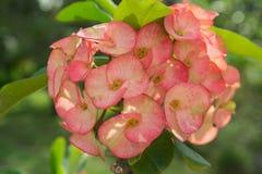 Kroon van de bloem van Doornen Royalty-vrije Stock Afbeeldingen