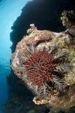 Kroon-van-Doornen zeester, die aan koraalrif een beschadigt Royalty-vrije Stock Fotografie