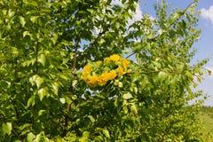 Kroon van gele paardebloemen Stock Foto's
