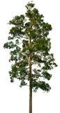 Kroon van grote boom op wit Royalty-vrije Stock Foto's
