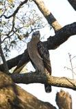 Kroonarend, Afrikaans Bekroond Eagle, Stephanoaetus-coronatus royalty-vrije stock foto's