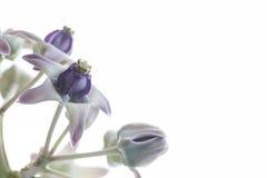 Kroonbloem, Reuze Indische Milkweed, Gigantisch slikken-Wort Stock Fotografie