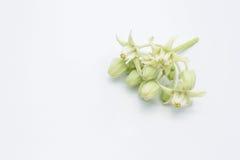 Kroonbloemen & x28; Calotropis giantea& x29; op wit Stock Afbeeldingen