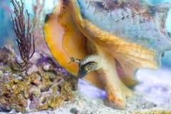 Kroonslak, levend in shell stock foto