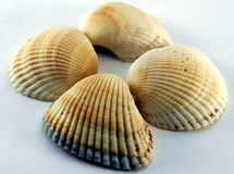 Kroonslak van overzeese shell Royalty-vrije Stock Fotografie