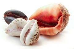 Kroonslakshells op Witte Achtergrond stock foto