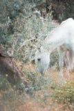 Kroost het Spaanse merrie weiden in olijftuin andalusia spanje royalty-vrije stock afbeeldingen
