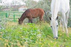 Kroost het Spaanse merrie weiden in olijftuin met haar veulen andalusia spanje stock fotografie