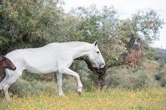Kroost Spaanse merrie die in olijftuin lopen met haar veulen andalusia spanje royalty-vrije stock afbeelding