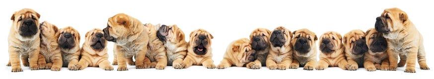 Kroost van de honden van sharpeipuppy Royalty-vrije Stock Fotografie