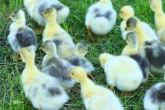 Kroost van gansjes op het gras Royalty-vrije Stock Foto's