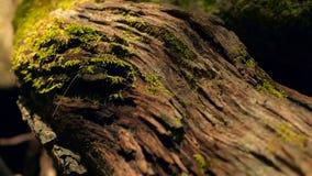 Kroost van zwarte termiet dragende grond om nest, boomschors met mos te bouwen De kolonie die van Eusocialinsecten in de wilderni stock footage
