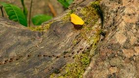 Kroost van zwarte termiet dragende grond om nest, boomschors met mos te bouwen De kolonie die van Eusocialinsecten in de wilderni stock videobeelden