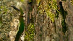 Kroost van zwarte termiet dragende grond om nest, boomschors met mos te bouwen De kolonie die van Eusocialinsecten in de wilderni stock video