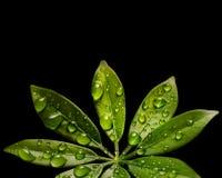 kropel świeża zieleni liść woda obrazy stock
