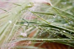 kropel ampuły woda Rosa na cienkich lis roślinach Zdjęcia Royalty Free