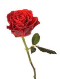 kropel czerwieni róży woda Obrazy Royalty Free