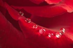 kropel czerwieni róży woda Zdjęcia Stock