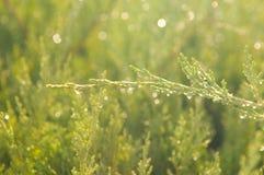 kropel jodły zieleni woda Zdjęcie Royalty Free