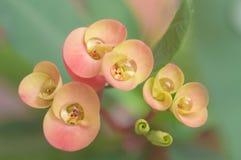 kropel kwiatów menchii woda Zdjęcie Stock