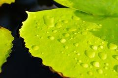 kropel liść lotosu woda Fotografia Royalty Free