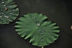 kropel li?? lotosu woda obraz stock