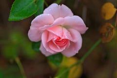 kropel menchii róży woda zdjęcie royalty free