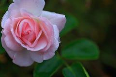 kropel menchii róży woda obraz royalty free