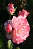 kropel róż woda zdjęcia royalty free
