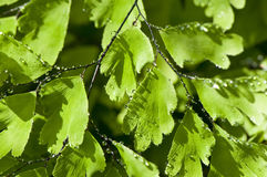 kropel zieleni liść woda Obraz Royalty Free
