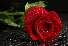 kropelek czerwieni róży woda Zdjęcie Stock