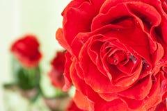 kropelek czerwieni róży woda Fotografia Royalty Free