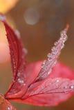 kropelek liść czerwona woda Obraz Stock