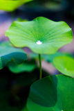 kropelek liść lotosu woda Zdjęcie Royalty Free