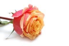 kropelek menchii róży oferty kolor żółty fotografia stock