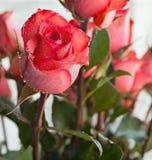 kropelek menchii róży woda Obrazy Stock