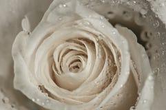 kropelek róży wody biel Obraz Royalty Free